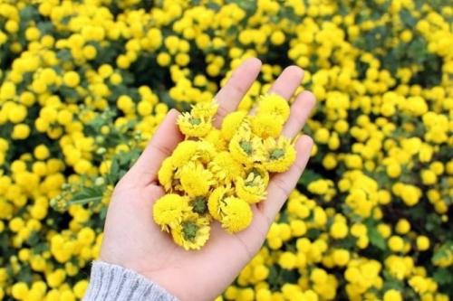Hoa cúc giảm viêm, sưng lợi